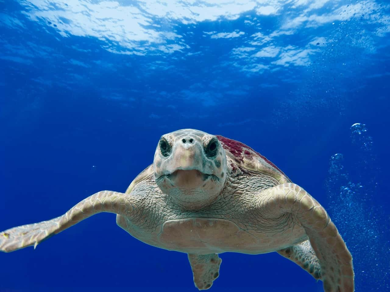 Loggerhead Turtle - Swimming with Turtles